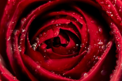rose day images with status
