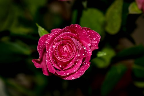 rose day msg for girlfriend in hindi