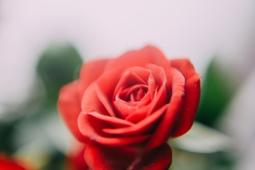 rose day lines